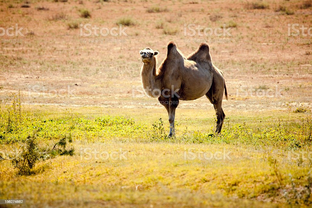Bactrian Camel in steppe royalty-free stock photo