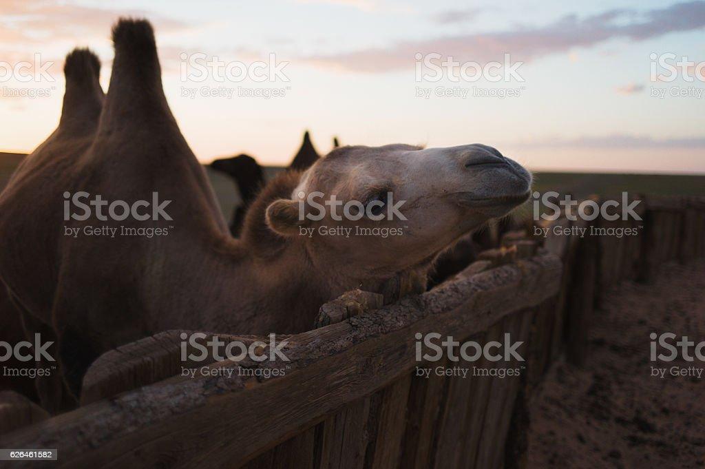 Bactrian Camel in the Gobi Desert stock photo