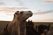 Bactrian Camel in the Gobi Desert