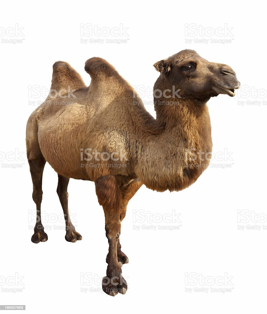 bactrian camel. Isolated on white stock photo