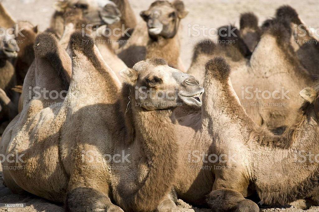 Bactrian Camel (Camelus bactrianus domesticus) royalty-free stock photo