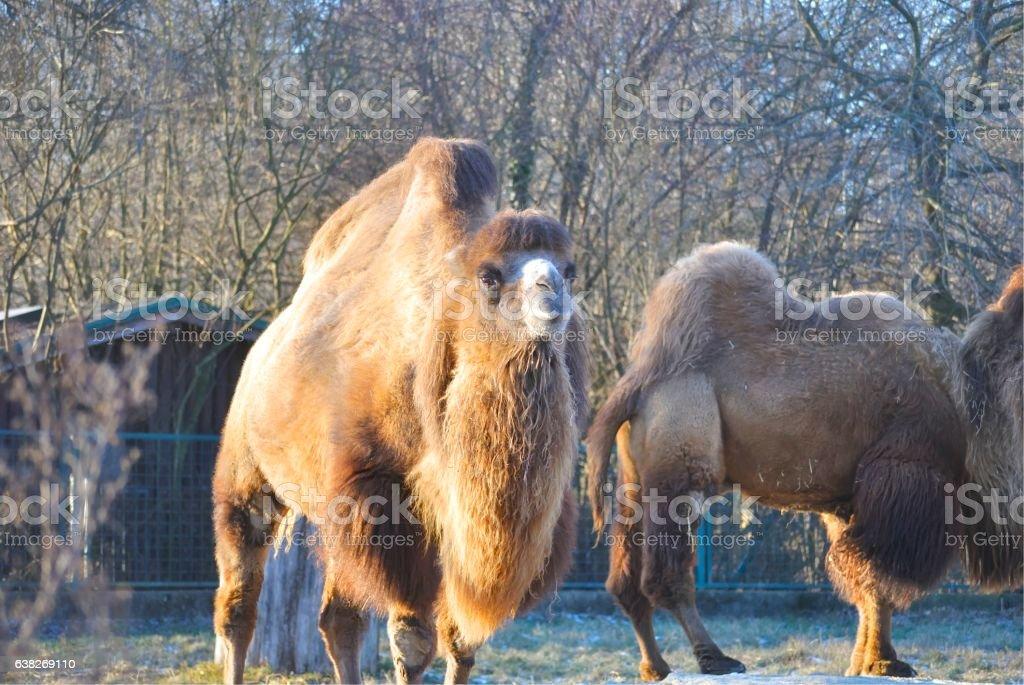 Bactrian camel (Camelus bactrianus) stock photo