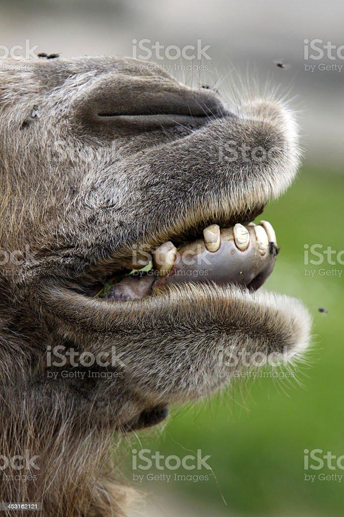 Bactrian camel snout royalty-free stock photo