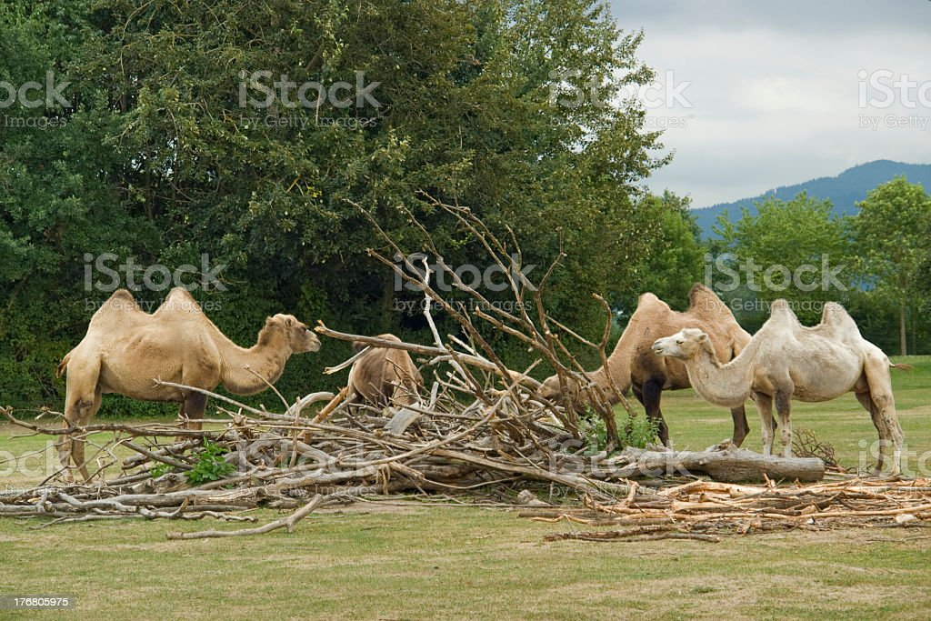 Bactrian Camels at fed royalty-free stock photo