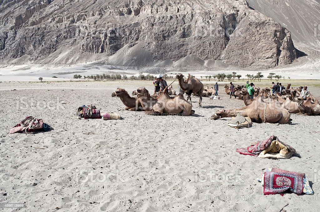 Bactrian Camels before Riding royalty-free stock photo