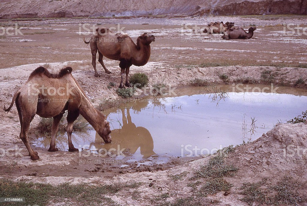 Bactrian camels drinking at desert pond near Turpan Xinjiang China stock photo