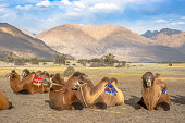 Bactrian Camels for tourist riding in Nubra valley