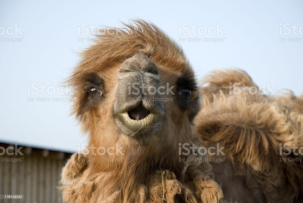 bactrian camel's head royalty-free stock photo