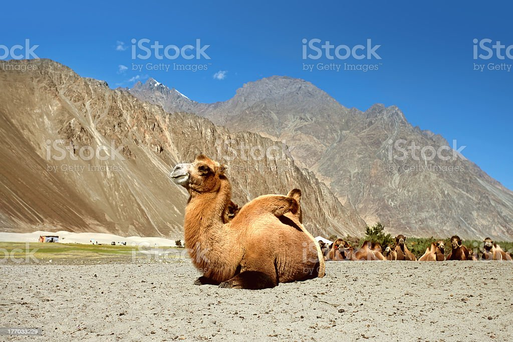 Bactrian Camels on Nubra Valley stock photo
