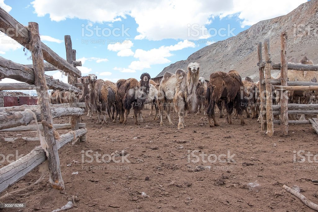 Bactrian camels stock photo