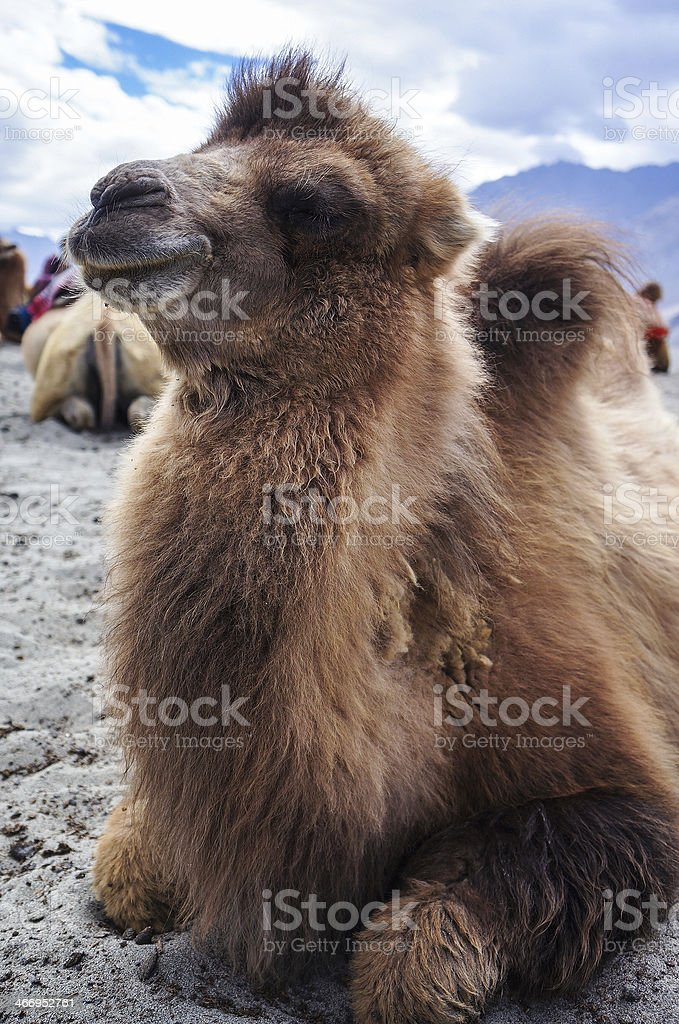 Bactrian or two-hump camel in Nubra Valley stock photo
