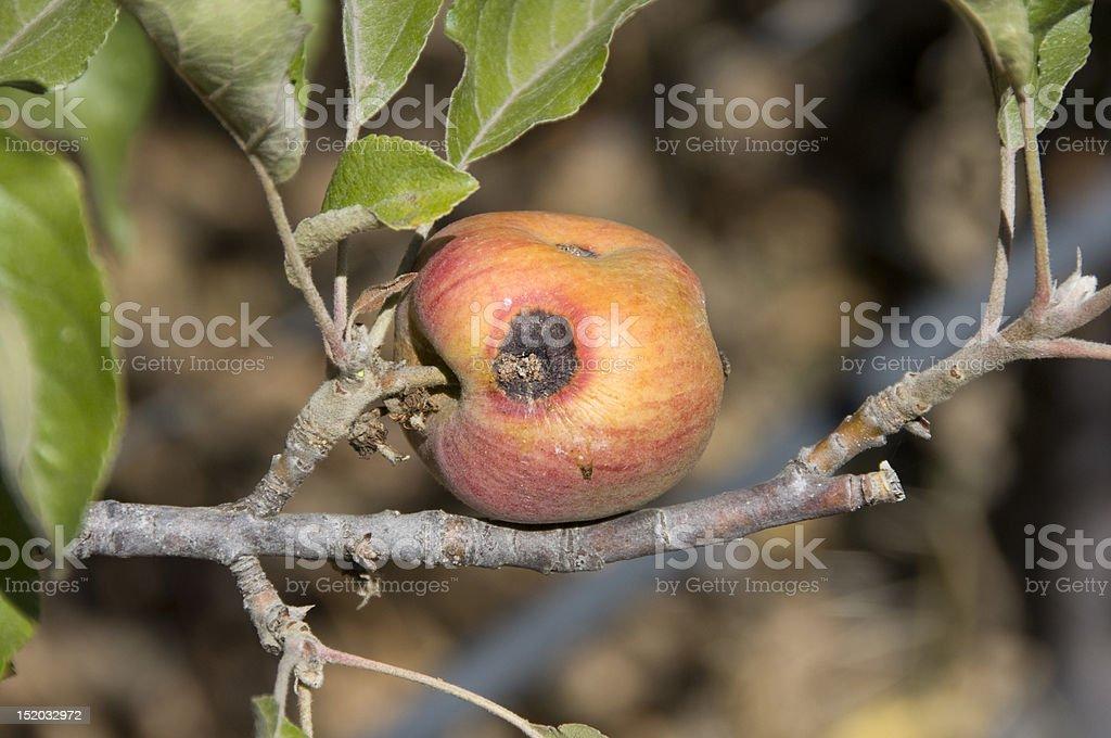 bad apple on a tree royalty-free stock photo