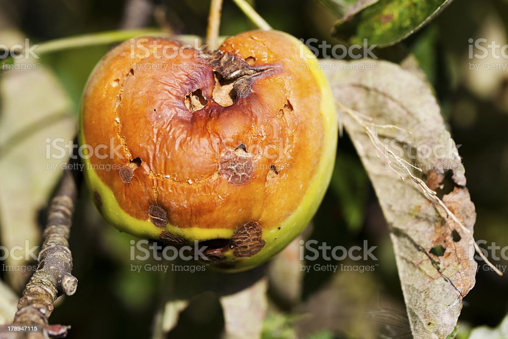 Bad apple. stock photo