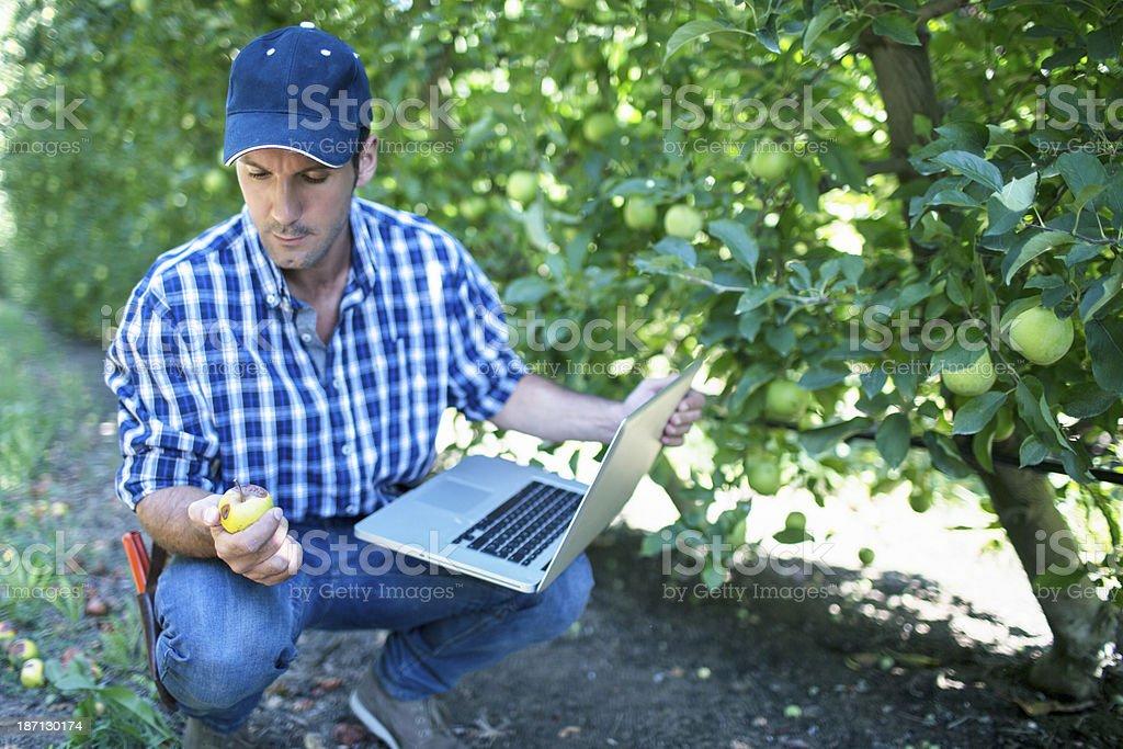 Bad apples royalty-free stock photo
