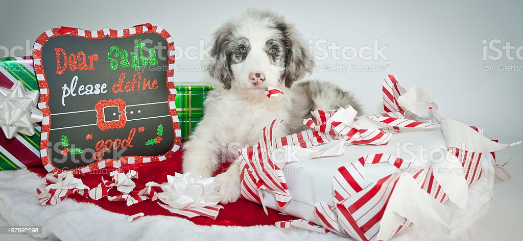 Bad Christmas Puppy! stock photo