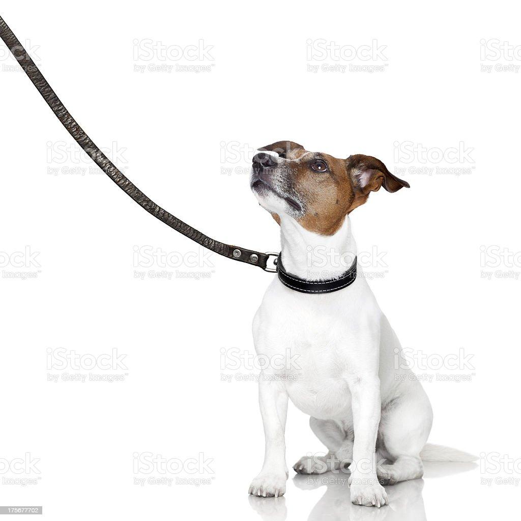 bad dog looking up stock photo