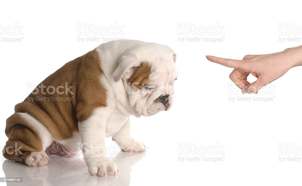 bad dog stock photo