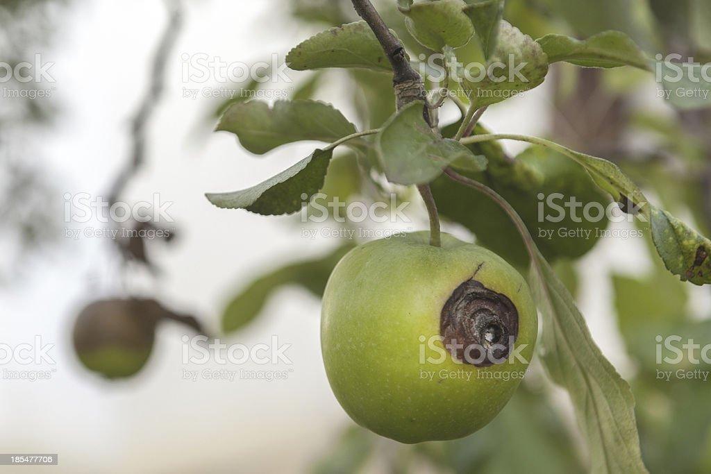 bad green apple stock photo