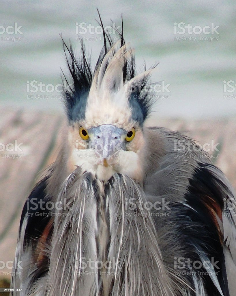 Bad Hair Day of a Great Blue Heron stock photo