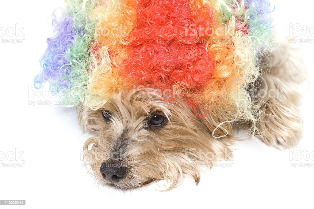Bad Hair Day royalty-free stock photo