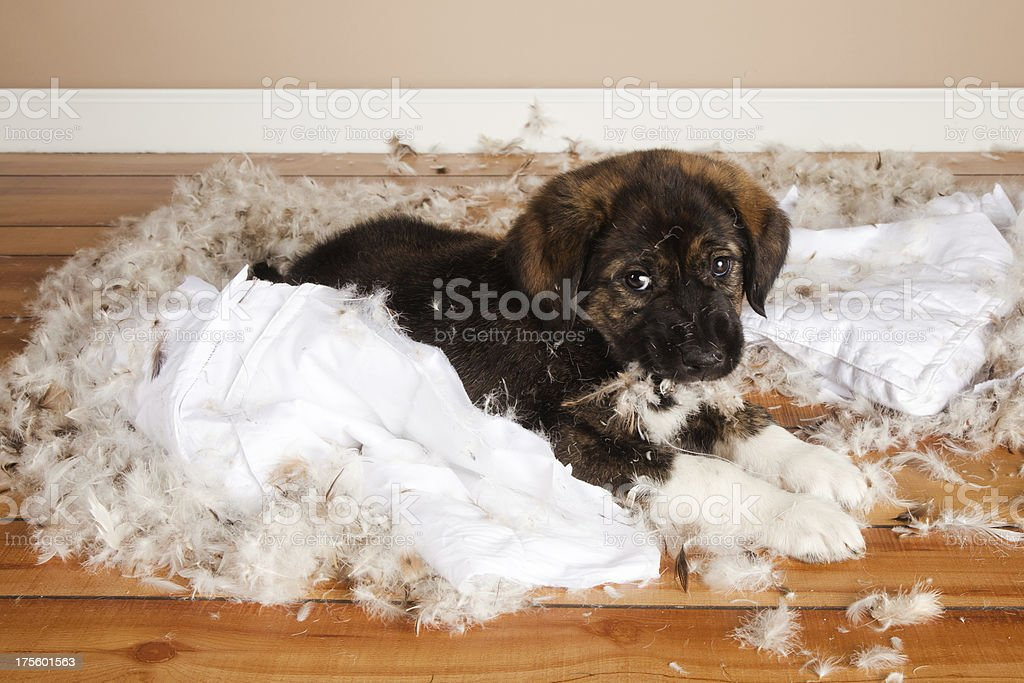Bad Puppy stock photo