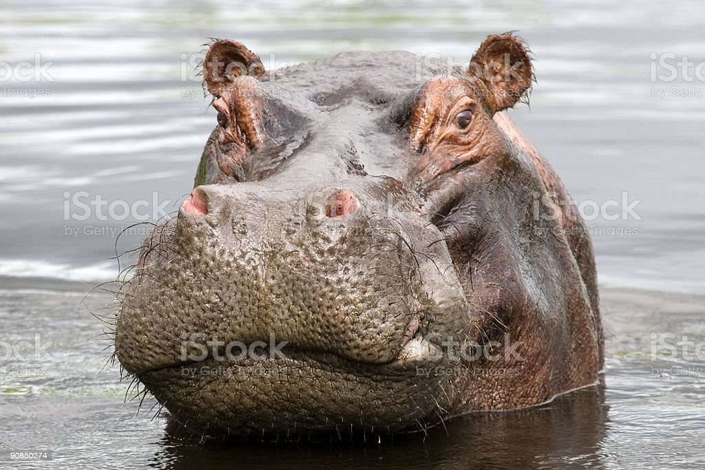 Bad Tempered Hippo royalty-free stock photo