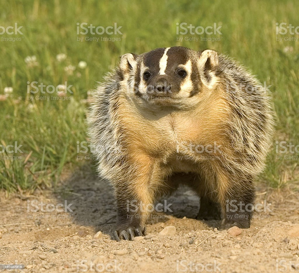 Badger at his burrow royalty-free stock photo
