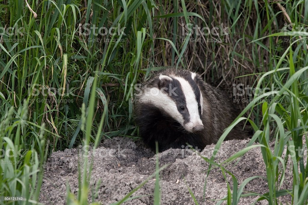 Badger comes out of the hole stock photo