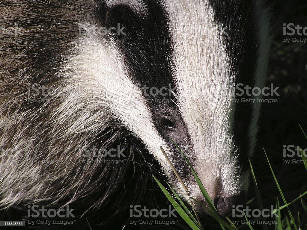 Badger face stock photo