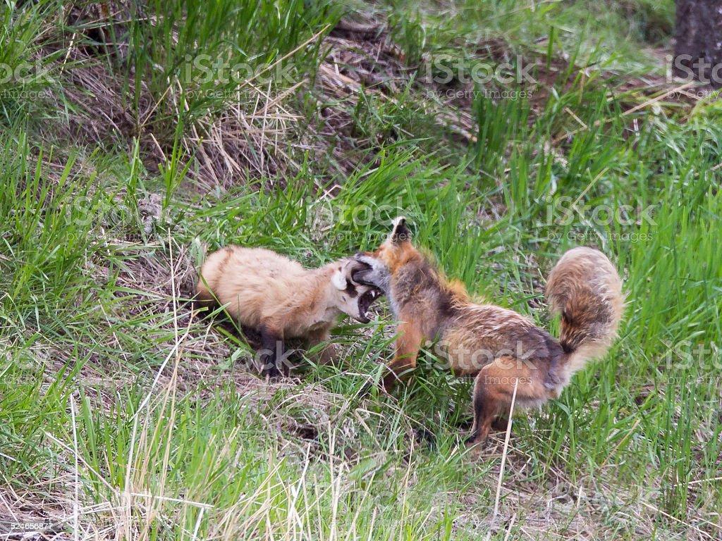 Badger Fox Fight Bite to the Eye Yellowstone stock photo