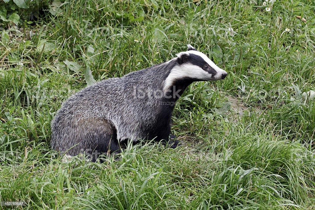 Badger, Meles stock photo