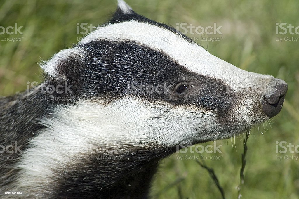 Badger royalty-free stock photo