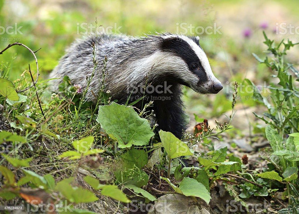 Badger royalty-free stock photo