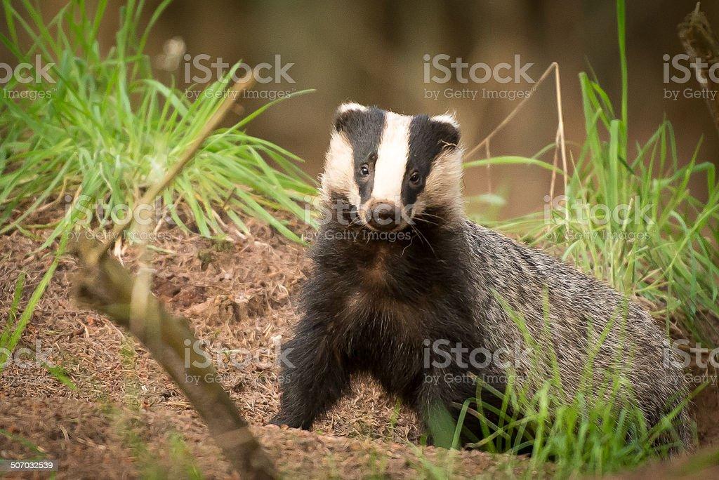 Badger portret stock photo