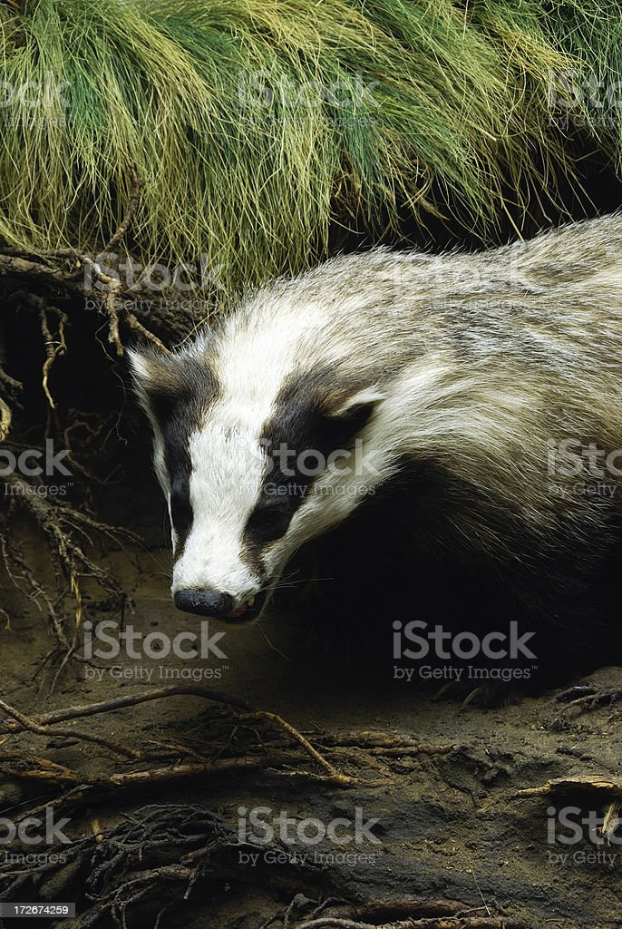 badger snarling in nature stock photo