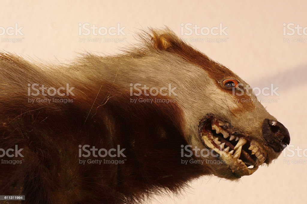 badger taxidermy stock photo