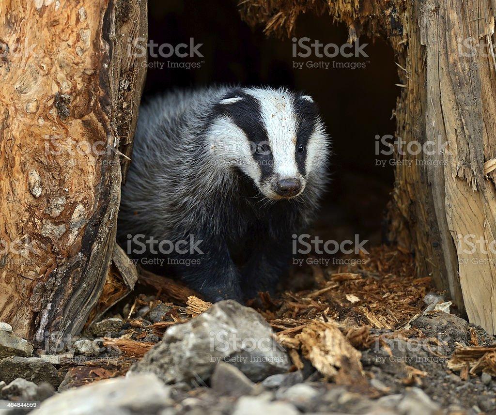 Badgers stock photo