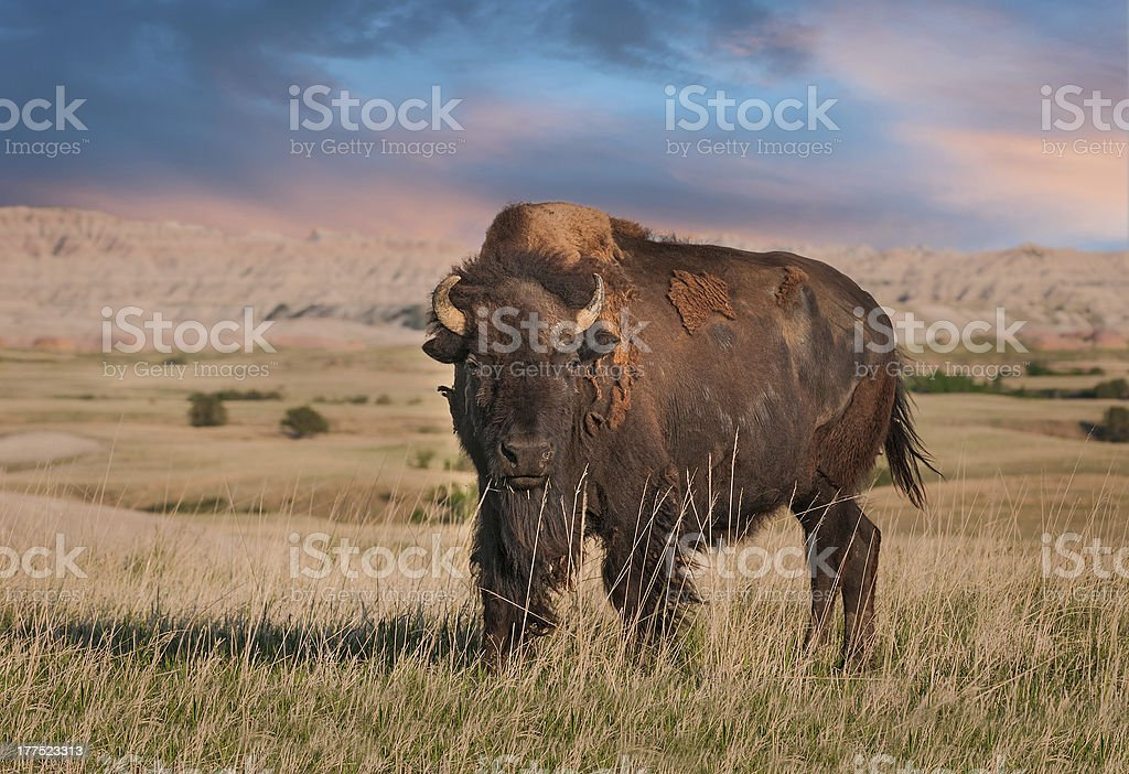Badlands American Bison Bull stock photo
