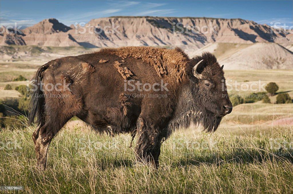 Badlands American Bison Bull (Bison bison) royalty-free stock photo