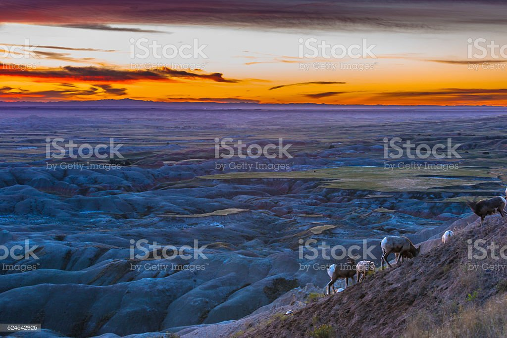 Badlands Bighorn stock photo