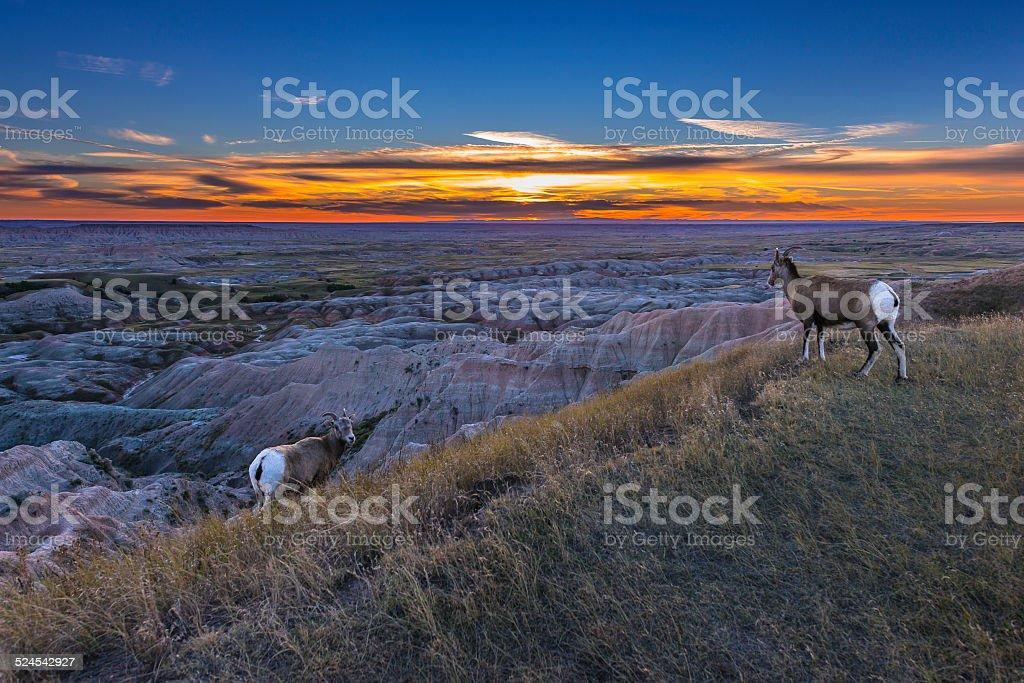 Badlands Bighorn stock photo