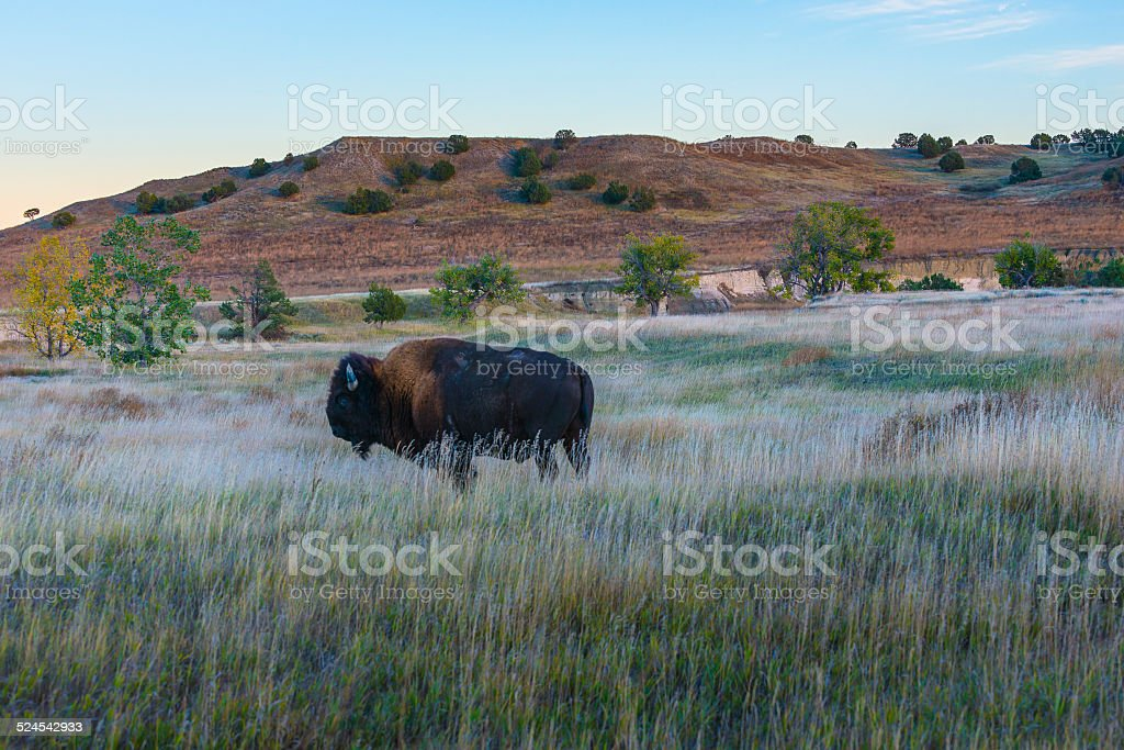 Badlands Bison stock photo