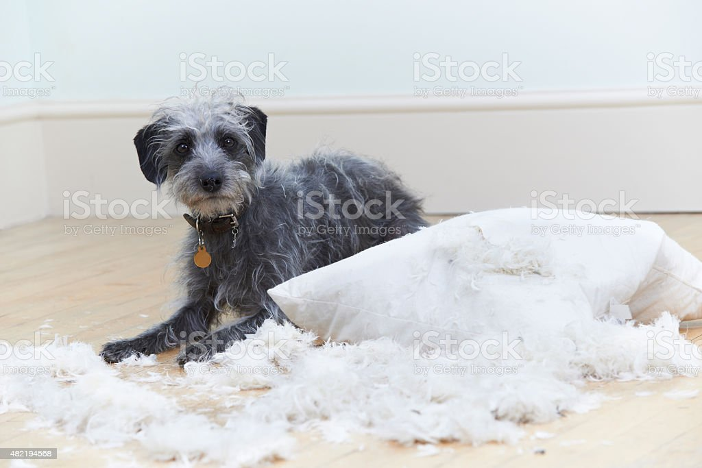 Badly Behaved Dog Ripping Up Cushion At Home stock photo