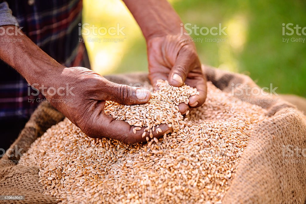 Bag of grain of wheat from the farm's food crop stock photo