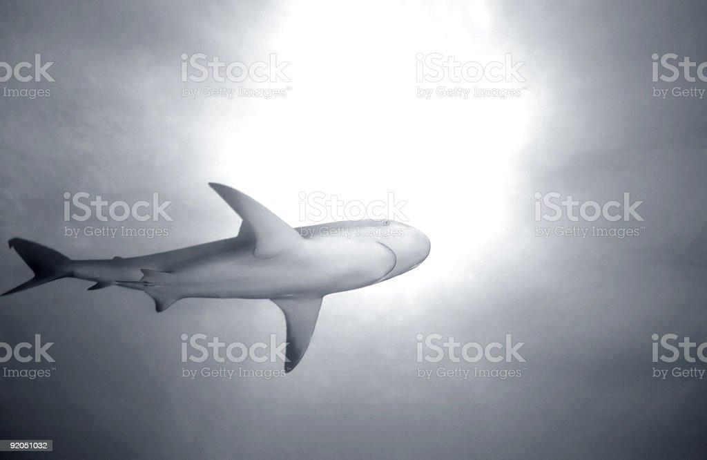 Bahama Requin photo libre de droits