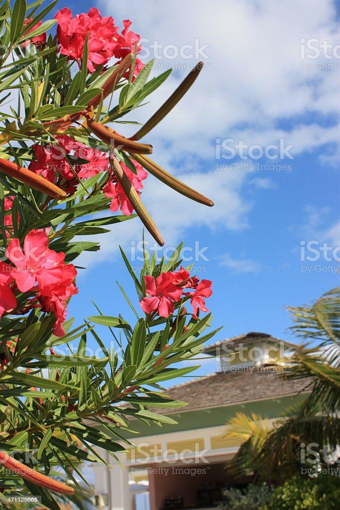 Bahamas Flowers royalty-free stock photo