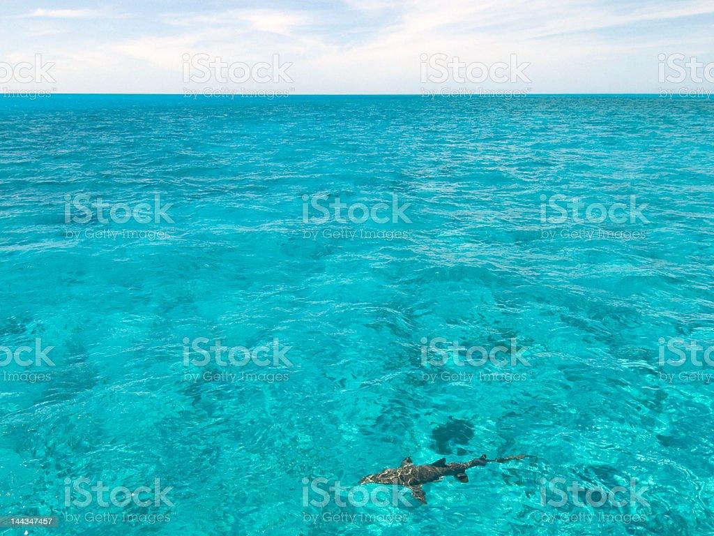 Bahamas with single shark royalty-free stock photo