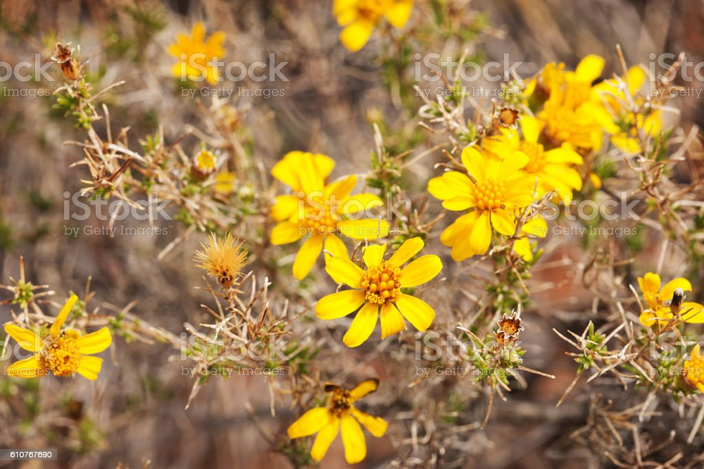 Bahiopsis parishii Parish Goldeneye Flowering Shrub stock photo