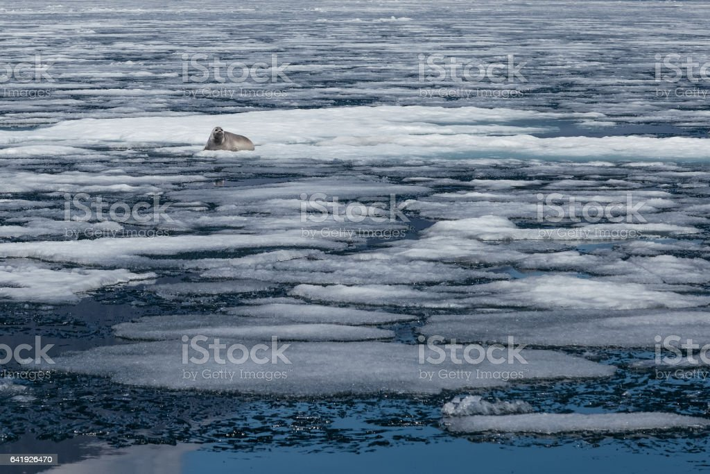 Baikal seal lying among ice in natural environment, endemic stock photo