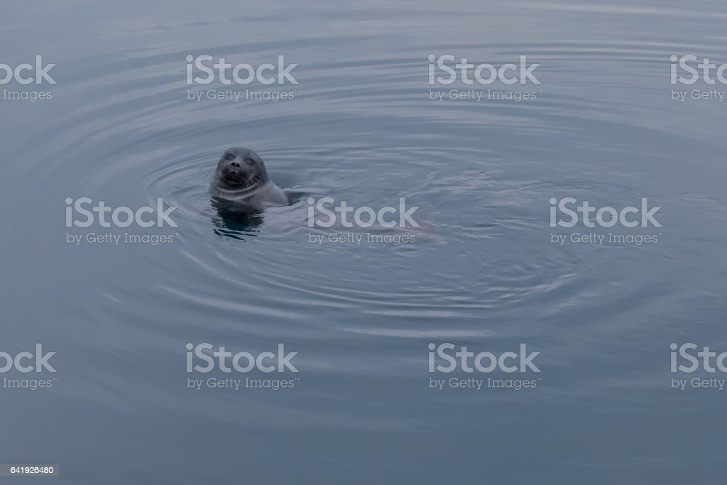 Baikal seal peeking out of the water in a natural habitat stock photo